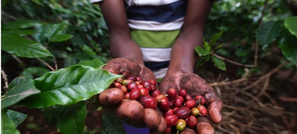 Manos mostrando frutos de café